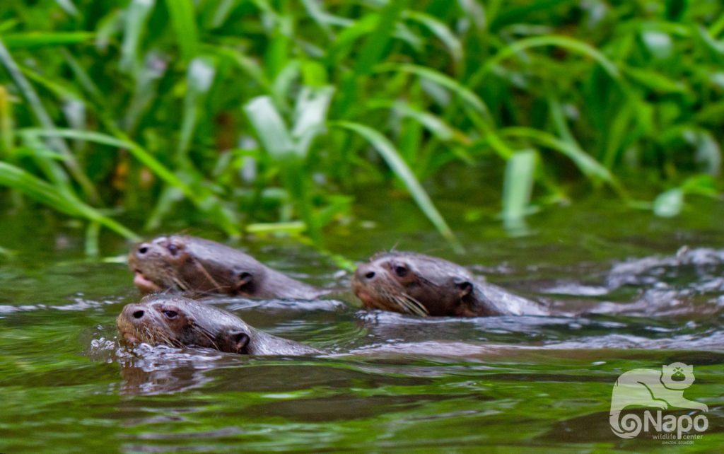 Giant Otters at the Napo Wildlife Center