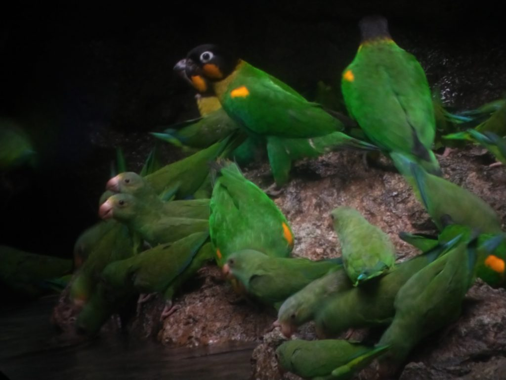 Parrot Clay Lick Napo Cultural Center
